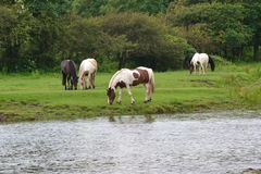 Horses by river Stock Images