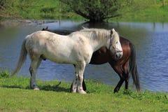 Horses at the river banks Royalty Free Stock Image