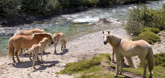 Horses by the river Stock Photography