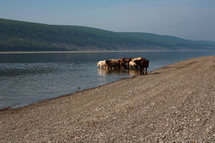 Horses in the river on a hot day. Royalty Free Stock Image