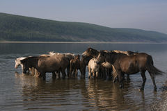 Horses in the river on a hot day. Stock Photo