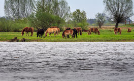 Horses at the river. Warta in Gorzow Wielkopolski. Landscape photography Royalty Free Stock Photo