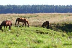 Horses on riverside grazing royalty free stock photo