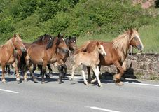 Horses on the road. Horses running on a mountain road stock photos