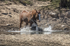 Horses roam free and wild along the Lower Salt River. Wild horses graze and play along the Lower Salt River, Tonto National Forest near Mesa, Arizona, USA Stock Photo