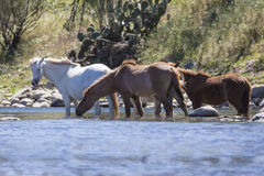 Horses roam free and wild along the Lower Salt River. Wild horses graze and play along the Lower Salt River, Tonto National Forest near Mesa, Arizona, USA Stock Image