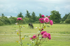 Horses and Roses. In the countryside Stock Photos