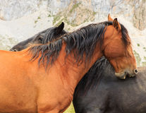 Horses. Route through the wonderful places of the Picos de Europa Stock Photography
