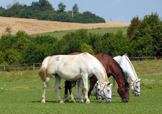 Horses. Royal Old Kladruber Horses grazing on the Pasture - three White Cladrubers and one Brown Kladruber Stock Photos