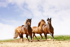 Horses run. Under the blue sky Royalty Free Stock Photos