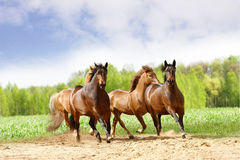 Horses run royalty free stock images