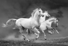 Horses run royalty free stock photography