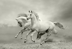 Horses run. White horses run in dust Stock Images