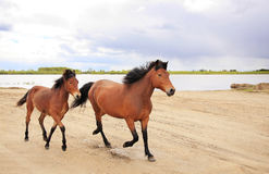 Horses run along the river. Royalty Free Stock Photography