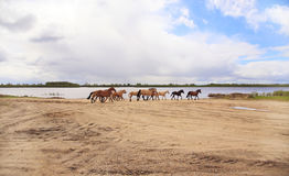 Horses run along the river. Stock Images