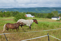 Horses run in a Canadian field Stock Photos