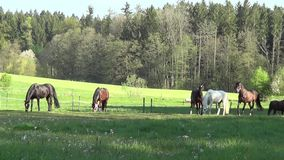 Horses run free and grazing in pasture stock footage