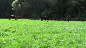 Horses run free in pasture slow motion stock footage
