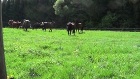 Horses run free on paddock stock video footage