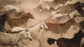 Horses run gallop in dust. Turkey, August 2017: Horses run gallop in dust Royalty Free Stock Photography