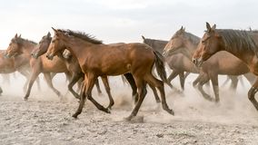Horses run gallop in dust Royalty Free Stock Photo
