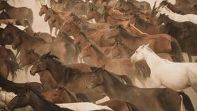 Horses run gallop in dust. Turkey, August 2017: Horses run gallop in dust Royalty Free Stock Photo