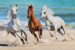 Horses run gallop. Horse herd run gallop on seashore Royalty Free Stock Images