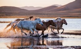 The horses run gallop in the water. In Wulanbutong royalty free stock photo