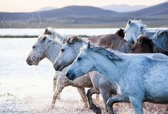 The horses run gallop in the water. In Wulanbutong royalty free stock photography