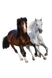 Horses run isolated. Two beautiful horse run gallop isolated on white background Stock Photography