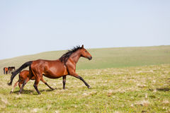 Horses run on a mountain pasture Royalty Free Stock Image