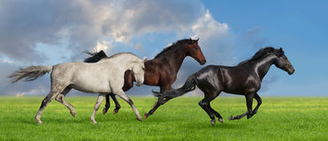 Horses run in pasture. Group of three horse run gallop on gree grass against beautiful sky Stock Photos