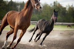 The horses run on the sand Royalty Free Stock Photos