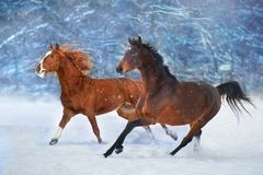 Horses run in snow. Two horse with long mane run fast in winter snow day stock image