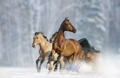 Horses run in a wild. In winter season stock photo