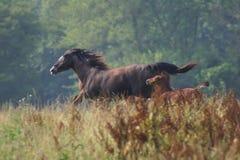 Horses running Stock Image