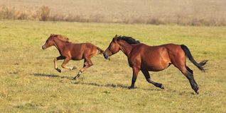 Horses running. Mare and her foal running free in an autumn field.(The breed is Romanian Light heavy-weight Royalty Free Stock Image