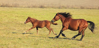 Horses Running. Mare and her foal running free in an autumn field.(The breed is Romanian Light heavy-weight Royalty Free Stock Photography