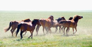 Horses Running Royalty Free Stock Photos