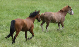 Horses running Stock Photos