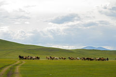 Horses Running across Mongolian Steppes Royalty Free Stock Image