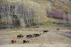 Horses running in autumn prairie with birch trees Royalty Free Stock Photo