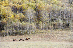 Horses running in autumn prairie with birch trees Stock Image