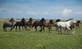 Horses Running / blue sky and  grass Stock Image