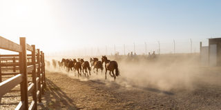 Horses running in the corral. Stock Photo