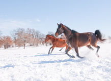 Horses running down hill in a snowy pasture Stock Photo