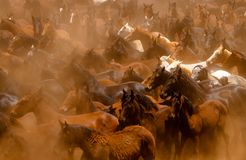 Horses running in the dust. Lots of Wild horses running in the african dust Royalty Free Stock Photos