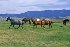 Horses running in field, Centennial Valley, MT Stock Photo