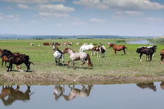 Horses running on field Stock Image