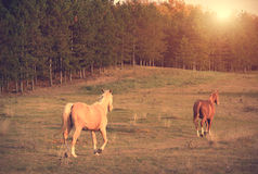 Horses running in the field Royalty Free Stock Photos